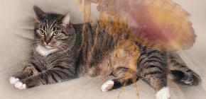 Was tun, wenn eine Katze Flöhe hat?