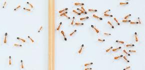 Rote Ameisen in der Wohnung