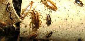 Wie man Kakerlaken in der Wohnung tötet und wem man Schädlingsbekämpfung anvertraut