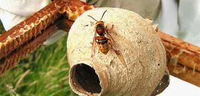 Das Leben der Gebärmutter der Hornisse - das wichtigste Weibchen im Nest