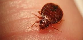 Die Käfer können für Menschen gefährlich sein