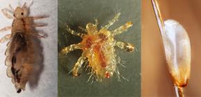 Wie die Läuse aussehen: vertraut mit den Merkmalen der Erscheinung und Biologie von Parasiten