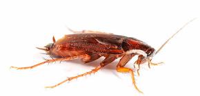 Die Kakerlaken in der Wohnung besser vergiften?