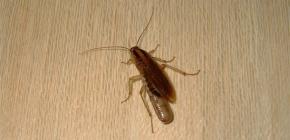 Wo verstecken sich Kakerlaken gewöhnlich in einer Wohnung und können sie aus der Kanalisation kriechen?