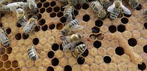 Die Verwendung von Bienenmotten-Tinktur zur Behandlung von Krankheiten