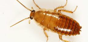 Wie man eine Wohnung von Kakerlaken behandelt?