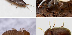 Welche kleinen Insekten können in der Wohnung gefunden werden