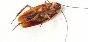 Kakerlaken-Invasionen zu Hause loswerden