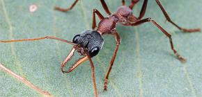 Über Bulldog Ameisen