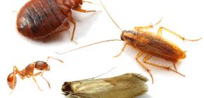 Wie man Heim Insekten in der Wohnung bekämpft