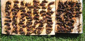 Wie man effektiv mit Hornissen umgeht und sie zum Häuschen oder zur Bienenhaus bringt