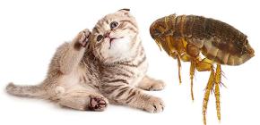 Katzenflöhe: Wie sie aussehen und für den Menschen gefährlich sind