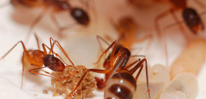 Die Zerstörung von Ameisen in der Wohnung