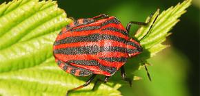 Aussehen und Merkmale des Lebens der italienischen Käfer