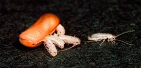 Wie viele Kakerlaken können aus einem Ei schlüpfen (geboren werden)?