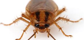 Fotos von verschiedenen Kakerlaken