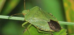 Wie sieht ein grüner Käfer aus und ist es wert, davor Angst zu haben?