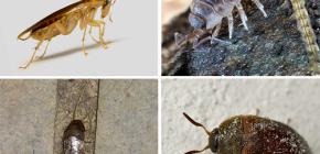 Die Arten von Insekten, die in der Wohnung leben können, und ihre Fotos