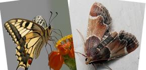 Warum hat Motte keinen Rüssel - ist das kein Schmetterling?