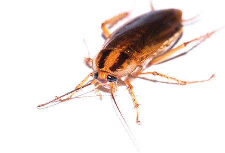 Wirksames Heilmittel für Kakerlaken Global (Globol)