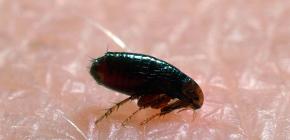 Wo Flöhe in Häusern und Wohnungen kommen: die Hauptgründe für das Auftreten von Parasiten