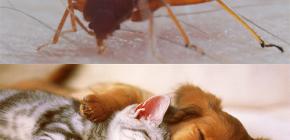Können Wanzen Haustiere (Katzen, Hunde, Hühner) beißen?