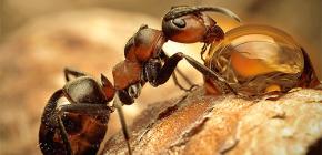 Fotos verschiedener Ameisenarten und interessante Merkmale ihres Lebens