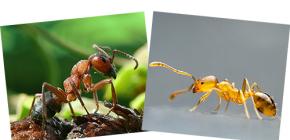 Über roten Wald und heimischen Ameisen, sowie ihre Unterschiede