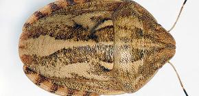 Schädliche Schildkröte (Eurygaster integriceps)