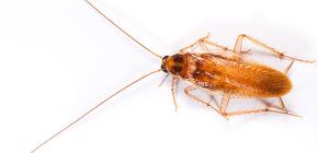 Aus dem Leben der roten Kakerlaken
