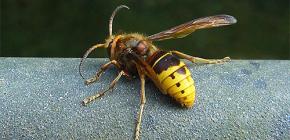 Überprüfung der effektivsten gegen Wespen und Hornissen