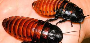 Über das Leben Madagaskars zischende Kakerlaken und deren Pflege zu Hause