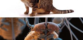 Haben Katzen Läuse und wie man kleine Parasiten von den Tierhaaren entfernt