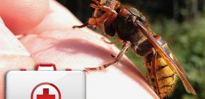 Was tun, wenn eine Hornisse beißt und wie gefährlich es für die Gesundheit sein kann