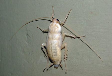 Weiße Kakerlaken in der Wohnung - welche Art von Albinos sind sie?