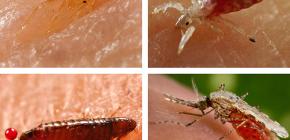 Welche Art von blutsaugenden Insekten kann man im Bett oder auf der Couch finden?
