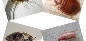 Welche Art von Hausinsekten können in menschlichen Wohnungen gefunden werden: Parasiten und Schädlinge