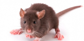 Rattenflöhe in der Wohnung und ihre Bisse
