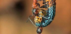 Wie viel wiegt eine Ameise und wie viel Gewicht kann sie heben?
