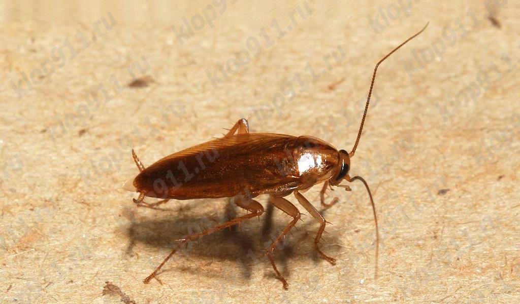 Rote Kakerlake