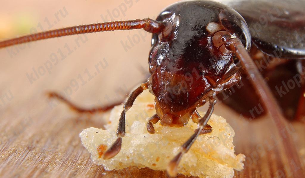 Kakerlake isst Brot (Makrofoto)