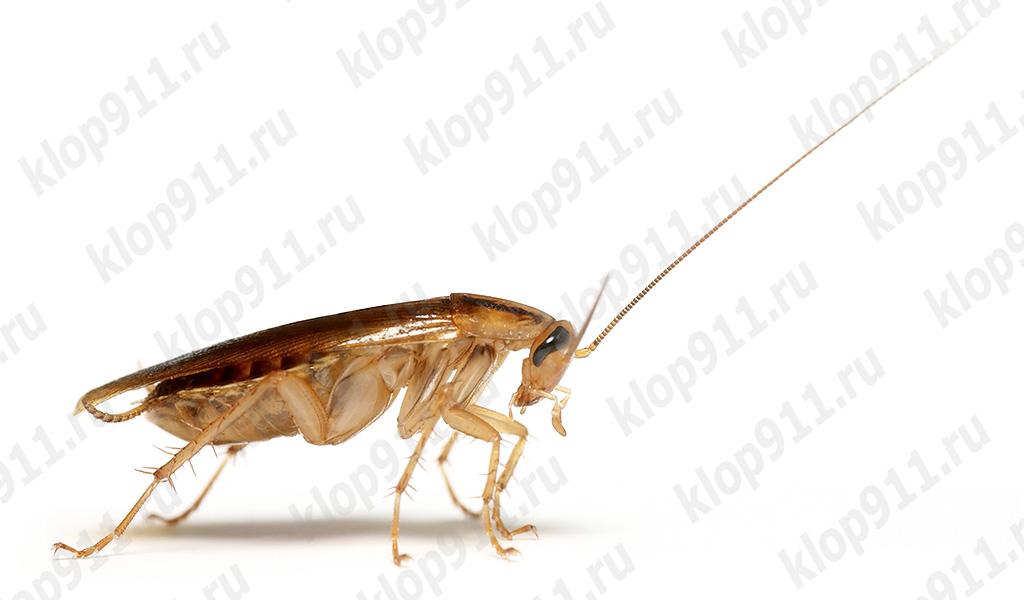 Kakerlake verlor seinen Schnurrbart