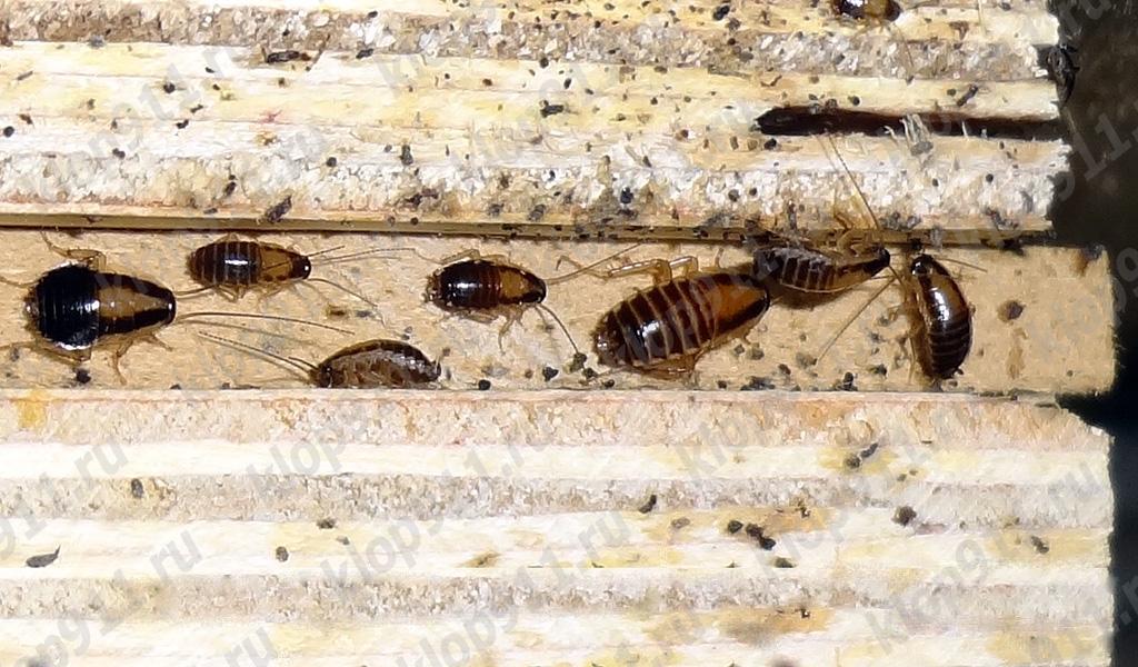 Die Ansammlung der roten Kakerlake der Nymphen in den Möbeln