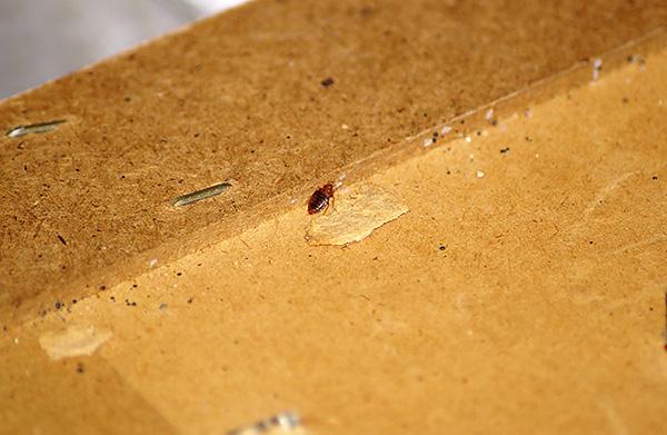 Oft werden diese Blutsauger von den Besitzern zusammen mit den alten Möbeln ins Haus gebracht ...