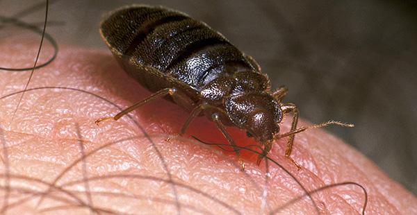 Es sieht aus wie ein Käfer zum Zeitpunkt des Blutvergießens.