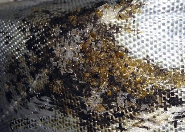 Im Nest finden sich Dutzende und sogar Hunderte von Individuen von Parasiten sowie viele Eier.