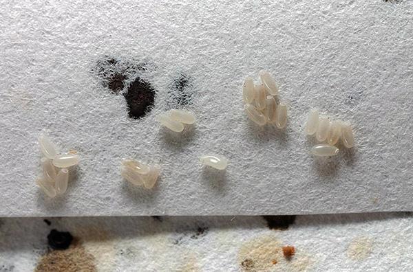Homebug Eier