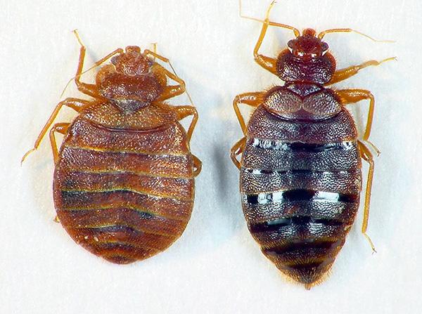 Auf der linken Seite - ein hungriger Käfer, auf der rechten Seite - betrunken mit Blut