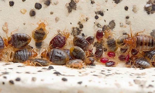 Im Nest der Parasiten kann als gut genährt gefunden werden, und für eine lange Zeit nicht von Individuen ernähren.