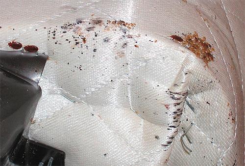 Wenn die Käfer im Sofa gefunden werden, kann es draußen eingefroren oder mit heißem Dampf behandelt werden.
